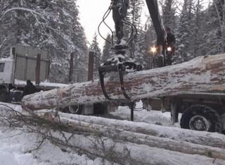 Крупную незаконную рубку леса в районе п. Майзас пресекли кузбасские лесничие и полицейские